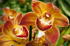 Twin yellow orchids Stock Image