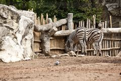 Twin Zebra Royalty Free Stock Images