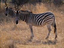 Twin Zebras. Two zebras in a park in Harare, Zimbabwe Royalty Free Stock Photos