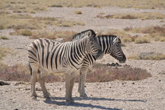 Twin zebras. Twin smart zebras in a natural park full of wildlife in Africa Royalty Free Stock Photo
