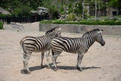 Twin zebras Stock Photo