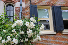 Twine white roses on the facade of brick house Royalty Free Stock Photo