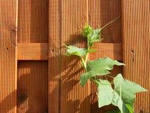 twined Efeu auf hölzernem Zaun Stockfoto