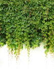 Twines. Overgrown wall with green twines royalty free stock image