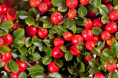 Twing of cotoneaster with red fruit macro Royalty Free Stock Images