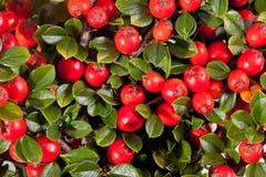 Twing von Cotoneaster mit rotem Fruchtmakro Lizenzfreie Stockbilder