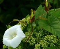 Twining Convolvulus. White convolvulus flower with its tendrils twining around a sedum flowerhead royalty free stock images