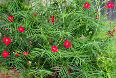Twining Cypress Vine with pink flower and spindly needle leaves. A summer Cypress vine with thin green needle leaves and bright pink five-petal blooms twines and Stock Photos