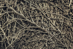 Twining leafless creeping branches Stock Photography