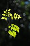 Twinkle leaf Royalty Free Stock Photo