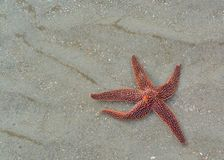 Twinkle Twinkle Little Star. Star fish making it's way across the sand Stock Images
