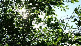 Twinkling sunshine with sun rays coming through foliage. Twinkling sunshine with sun rays coming through fresh, vibrant, lush, cherry tree foliage in garden or stock footage
