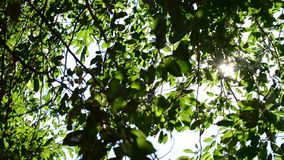 Twinkling sunshine with sun rays coming through green foliage. Twinkling sunshine with sun rays coming through fresh, vibrant, lush, cherry tree foliage in stock video footage