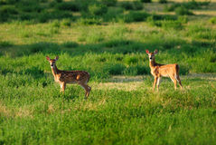 Twins. Twin fawns in early summer Royalty Free Stock Photos