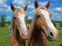 Twins. Horses whaching at you stock images