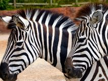 Twins Almost. Two Zebras Startled in The Plain Royalty Free Stock Images