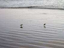 Twins. A pair of birds idle close to the water along a southern california beach Stock Photos