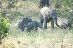 Elephants, playful twin elephant babies in Tanzania, Africa royalty free stock photos