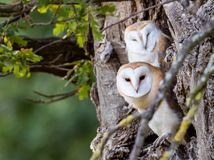Twins. Barn owl (Tyto Alba) young in Suffolk, England. Soon to fledge but still dependent on parent for feeding Royalty Free Stock Photo