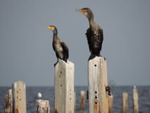 Twins cormorants Royalty Free Stock Image