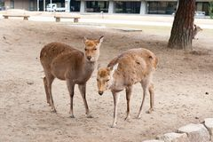 Twins deer in Nara Park, Japan Stock Photos
