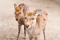 Twins deer in Nara Park, Japan Stock Images