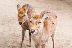 Twins deer in Nara Park, Japan Stock Photo
