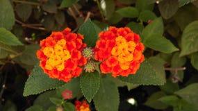 Twins flower Stock Photo
