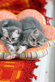 Twins kittens Royalty Free Stock Photography
