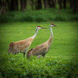 Twins. Living in the country always leads to visiting wildlife. 4 sandhill cranes came thru the other day Stock Photo