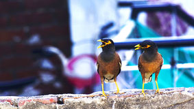 Twins Myne,Indian Myna, Royalty Free Stock Images