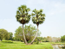 Twins. A pair of palms standing in a garden field Royalty Free Stock Photos