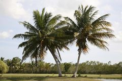 Twins Palm Tree. Twin palm trees in the field Stock Photo