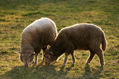 Twins - sheep Royalty Free Stock Photography