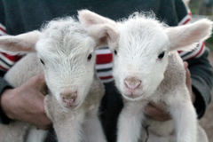 Twins sheep. Two babes animals Royalty Free Stock Photo