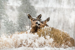 Twins in snow Royalty Free Stock Image