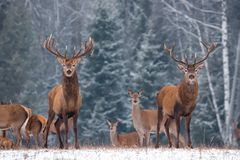 Twins.Stunning Image Of Two Deer Male Cervus Elaphus Against Winter Birch Forest And Fuzzy Silhouettes Of The Herd: One Stag C Stock Photography