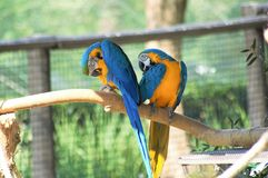 Twins. Twin parrots cleaning Royalty Free Stock Images