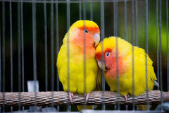 Twins Yellow Bird Stock Images