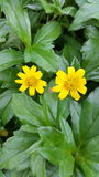 Twins, Yellow, Flower, natural Royalty Free Stock Photos