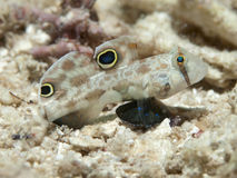 Twinspot goby Royalty Free Stock Image