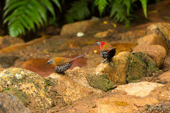 Twinspots. This very cute twinspot couple show themselves very seldom especially as a pair. These birds are very localized in areas of Southern Africa and this Royalty Free Stock Images