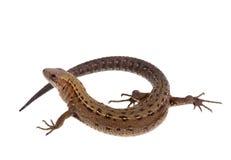 Twirled lizard. Involute lizard over white background Royalty Free Stock Image