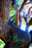 Twist and tango. Magical oak with twisted trunk and bending tangled branches in phosphorescent light Stock Images