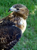 Twist & Turn. Red Tailed Hawk turning to check for more prey in the grass Royalty Free Stock Image