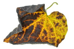 Twisted autumn leaf Stock Photography