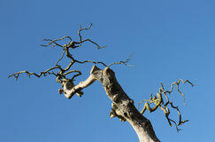 Twisted branches of dead tree Stock Photos