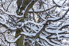 Twisted branches in the snow Stock Photography
