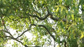 Twisted Branches of a Tree stock video footage