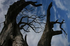 Twisted Branches. Withered twisted tree against a bright blue sky with wispy clouds Stock Photography